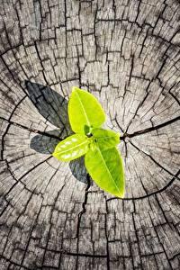 Hintergrundbilder Großansicht Baumstumpf Blatt Natur