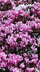 Hintergrundbilder Alpenveilchen Viel Rosa Farbe Blumen