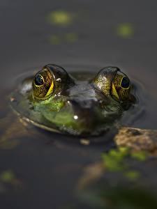 Hintergrundbilder Frosche Großansicht Augen Wasser Tiere