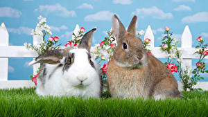Hintergrundbilder Kaninchen Rosen 2 Gras Tiere