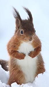 Bilder Eichhörnchen Schnee Tiere