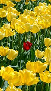 Hintergrundbilder Tulpen Viel Gelb Blüte