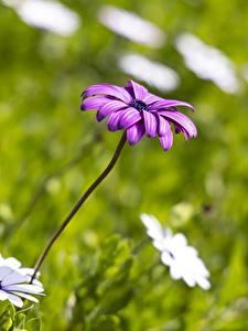 Fotos Gänseblümchen Unscharfer Hintergrund Violett Blüte