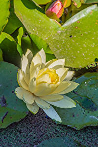 Fotos Lotosblume Nahaufnahme Blüte