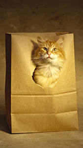 Pictures Cats Ginger color Snout Animals