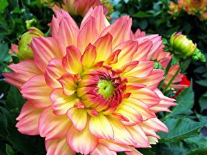 Fotos Georginen Hautnah Blumen