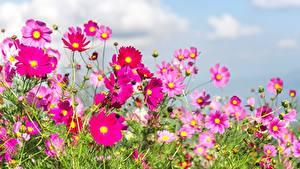 Bilder Sommer Grünland Schmuckkörbchen Blumen