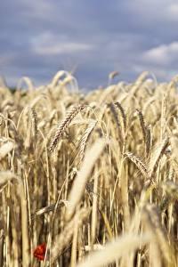 Bilder Felder Weizen Bokeh Ähren