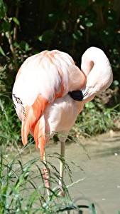 Fotos Vögel Flamingos Bokeh Gras Rosa Farbe ein Tier