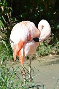 Desktop hintergrundbilder Vögel Flamingos Bokeh Gras Rosa Farbe ein Tier