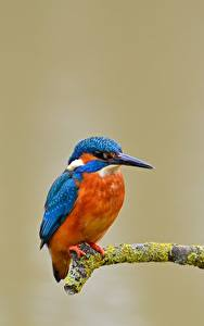 Wallpaper Common Kingfisher Birds Branches Animals