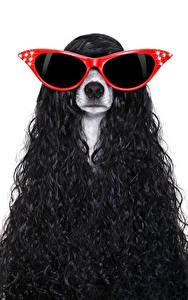 Hintergrundbilder Hunde Weißer hintergrund Jack Russell Terrier Haar Brille Tiere
