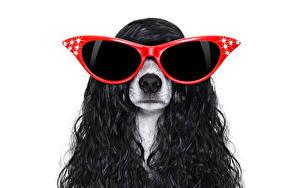 Hintergrundbilder Hund Lockige Weißer hintergrund Jack Russell Terrier Haar Brille Tiere