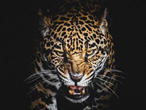 Hintergrundbilder Große Katze Leopard Schwarzer Hintergrund Unzufrieden Schnurrhaare Vibrisse Tiere