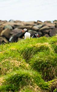Hintergrundbilder Vogel Papageientaucher Gras Tiere