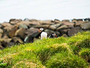 Hintergrundbilder Vogel Papageientaucher Gras