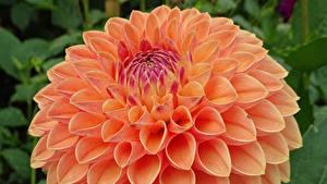 Bilder Dahlien Großansicht Orange Blüte