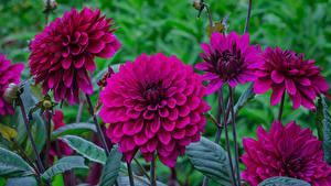 Hintergrundbilder Georginen Nahaufnahme Bordeauxrot Blumen
