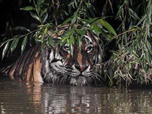 Bilder Tiger Wasser Schnauze Ast Tiere