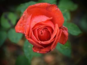 Hintergrundbilder Großansicht Rosen Rot Blütenblätter Tropfen Blumen