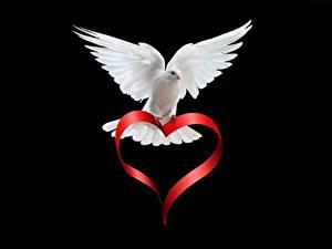 Bilder Vögel Feldtauben Schwarzer Hintergrund Weiß Herz Tiere