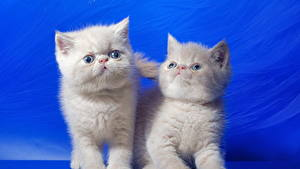 Pictures Cat Kittens Two Fluffy White Colored background animal