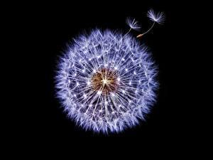 Bilder Taraxacum Großansicht Schwarzer Hintergrund Blumen