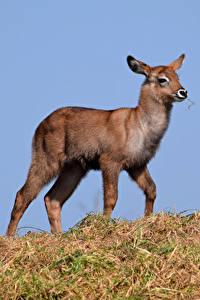 Hintergrundbilder Hirsche Jungtiere Tiere