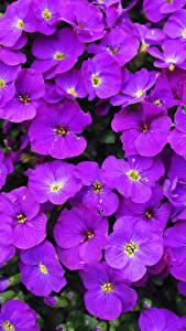 Hintergrundbilder Großansicht Viel Violett Aubretia Blumen