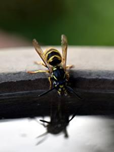 Bilder Insekten Großansicht Wespen Trinkt Wasser Tiere