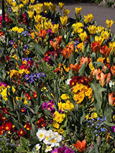 Bilder Vereinigtes Königreich Park Tulpen Schlüsselblumen Viel Swansea Botanic Gardens Wales Blumen