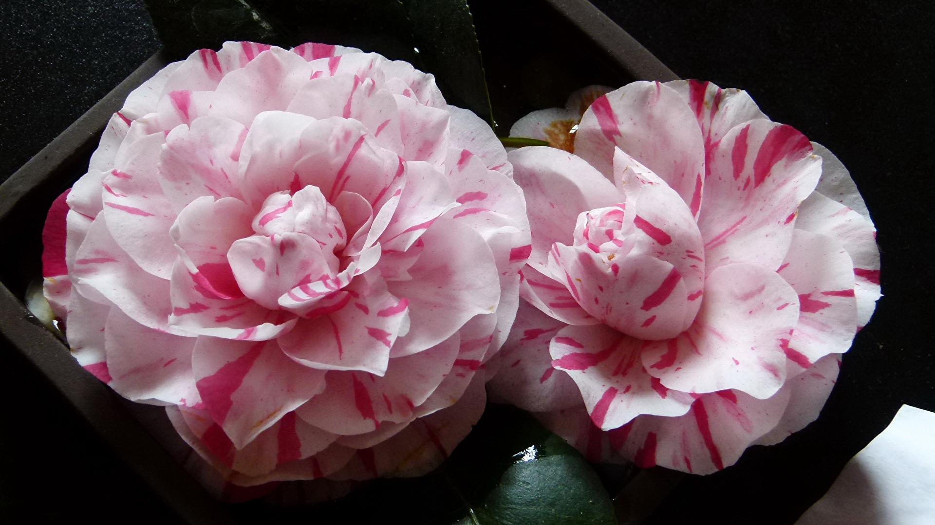 Photo Two Flower Camellia Closeup 1920x1080