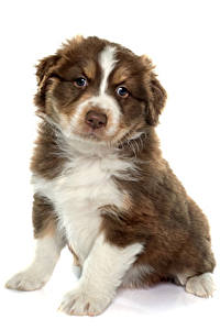 Pictures Dogs White background Australian Shepherd Puppy Sitting Animals