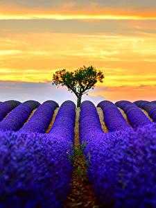Hintergrundbilder Lavendel Felder Blau Natur