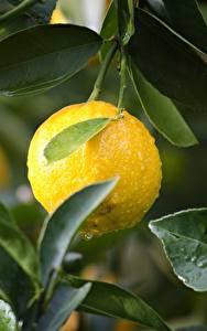 Fotos Zitronen Tropfen Blatt Gelb Lebensmittel