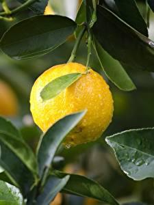 Fotos Zitrone Tropfen Blatt Gelb Lebensmittel