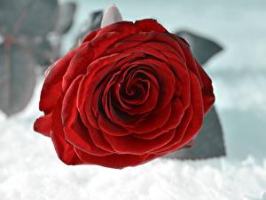Fotos Rosen Großansicht Schnee Rot Blumen