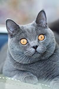 Papel de Parede Desktop Gatos Gato de pelo curto inglês Ver Cinza Focinho Animalia