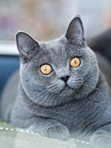 桌面壁纸,,家貓,英国短毛猫,凝视,灰色,吻部,動物