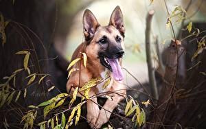Bilder Hunde Shepherd Zunge Belgischer Schäferhund