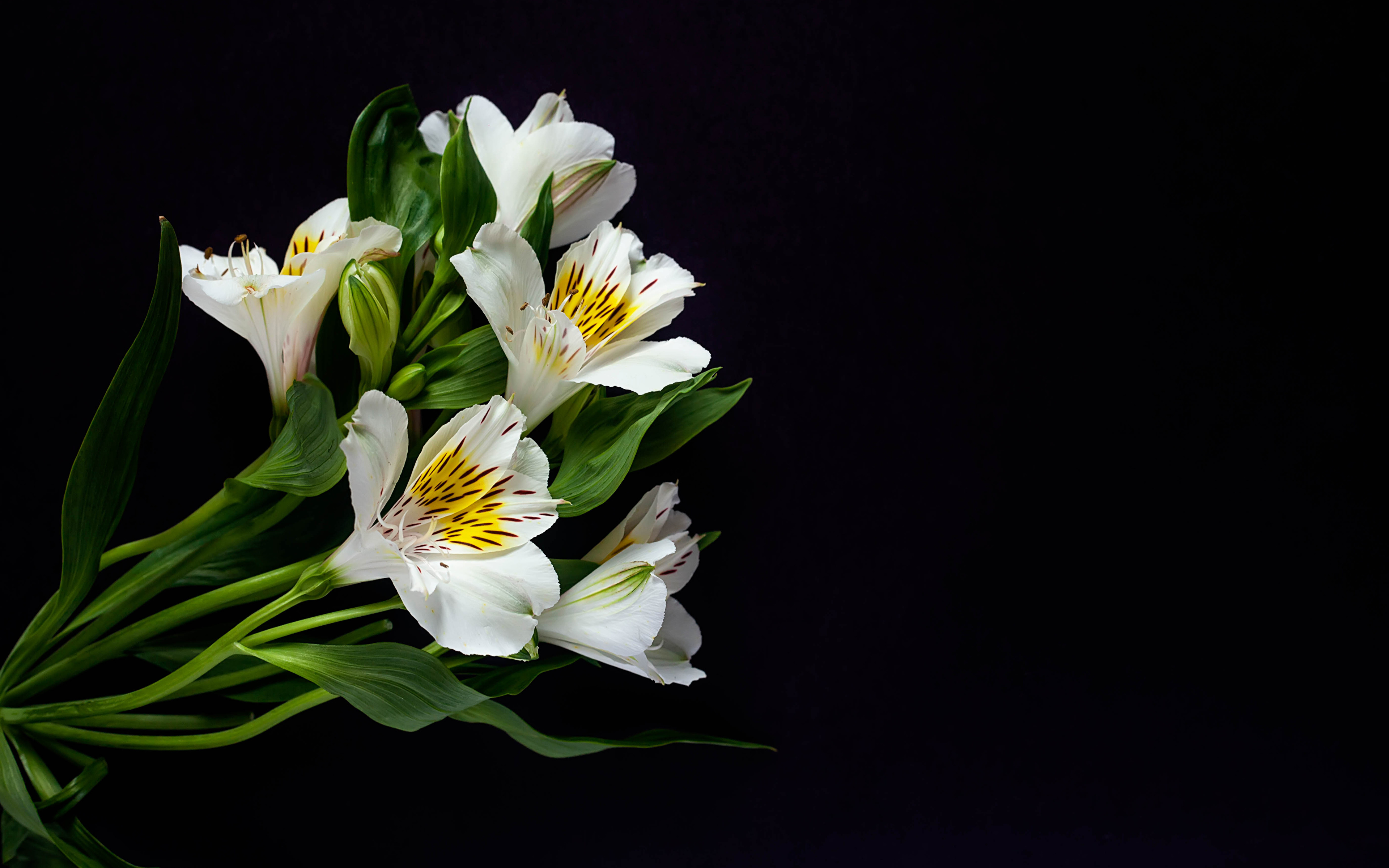 Images White Flower Alstroemeria Black Background 3840x2400