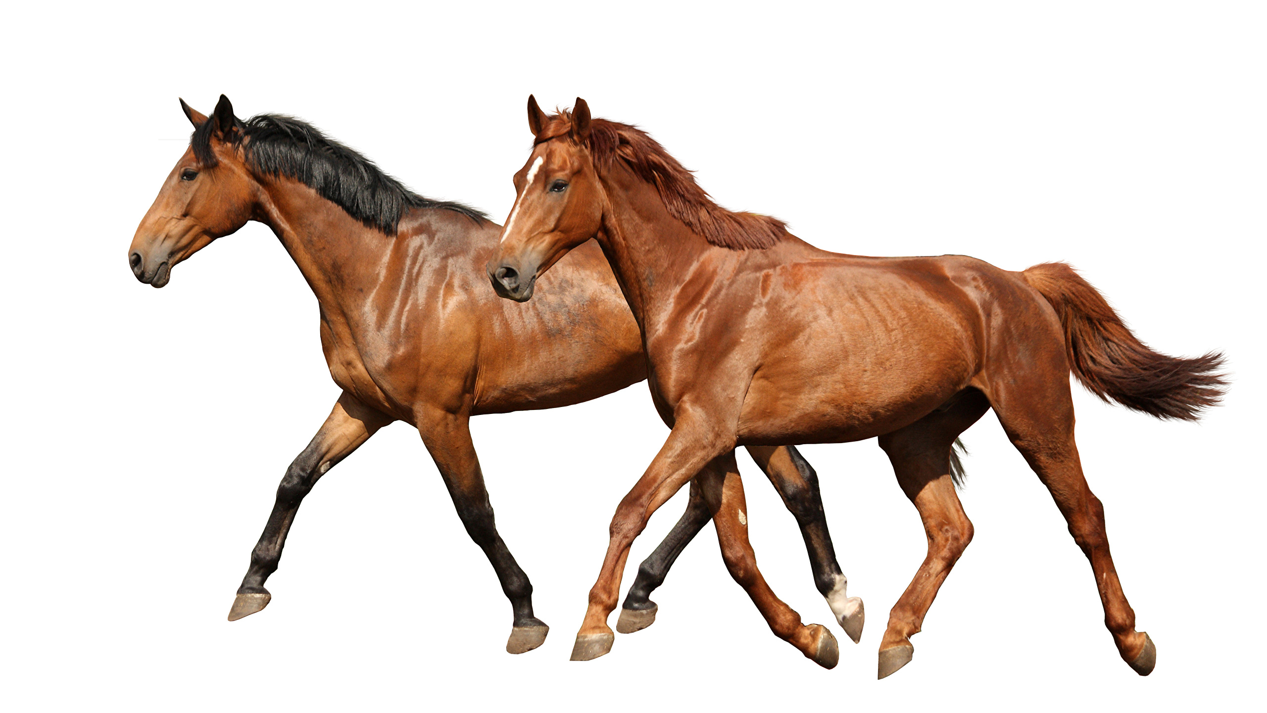 Wallpaper Horses Two Animal White Background 2560x1440
