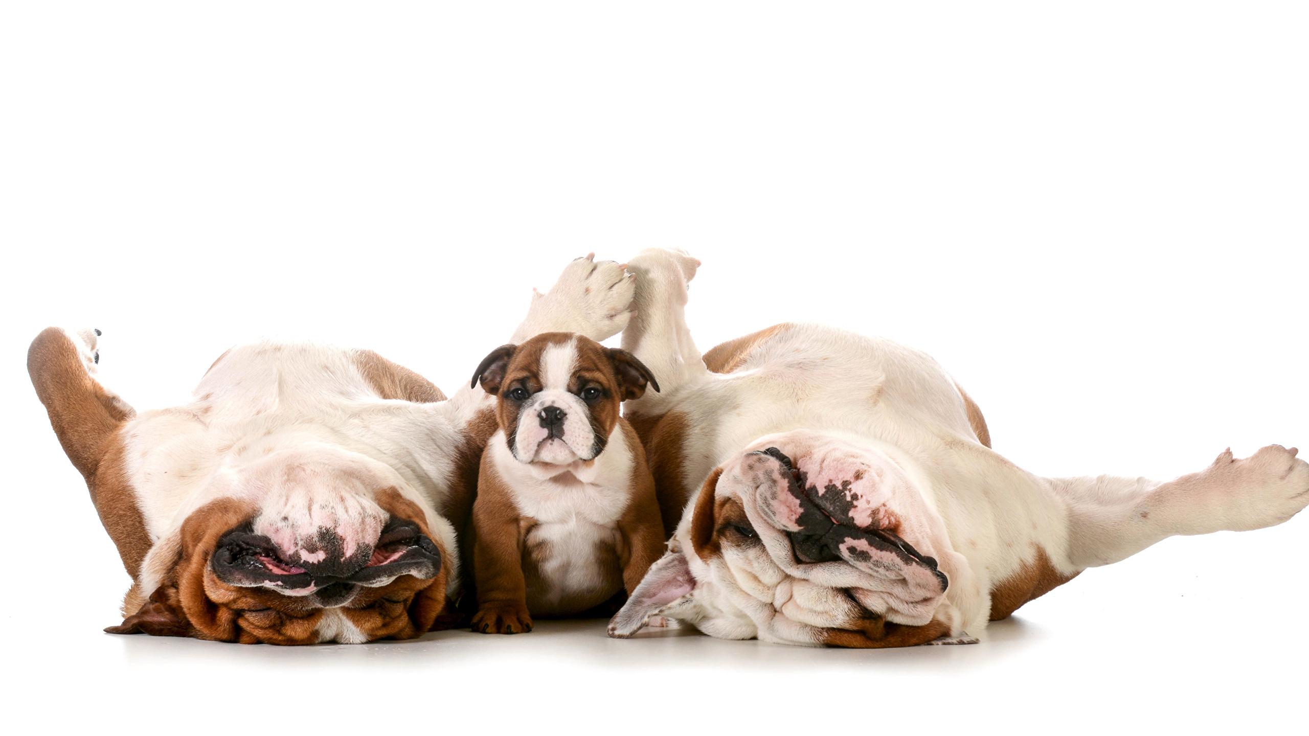 Fonds Decran 2560x1440 Chien Fond Blanc Trois 3 Bulldog