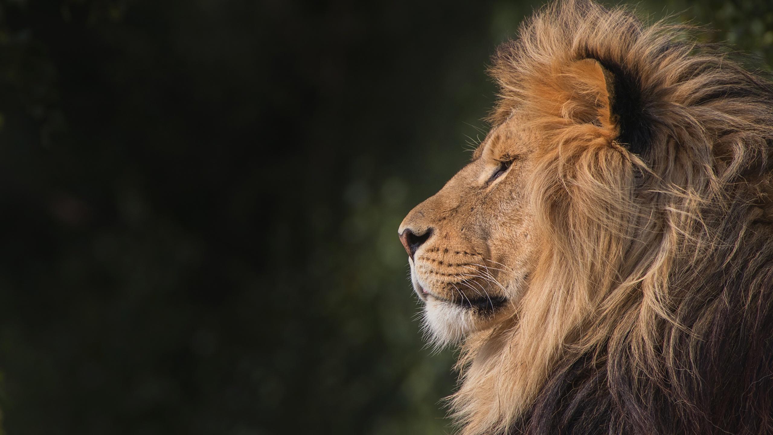 Fonds Decran 2560x1440 Lions Animaux Télécharger Photo