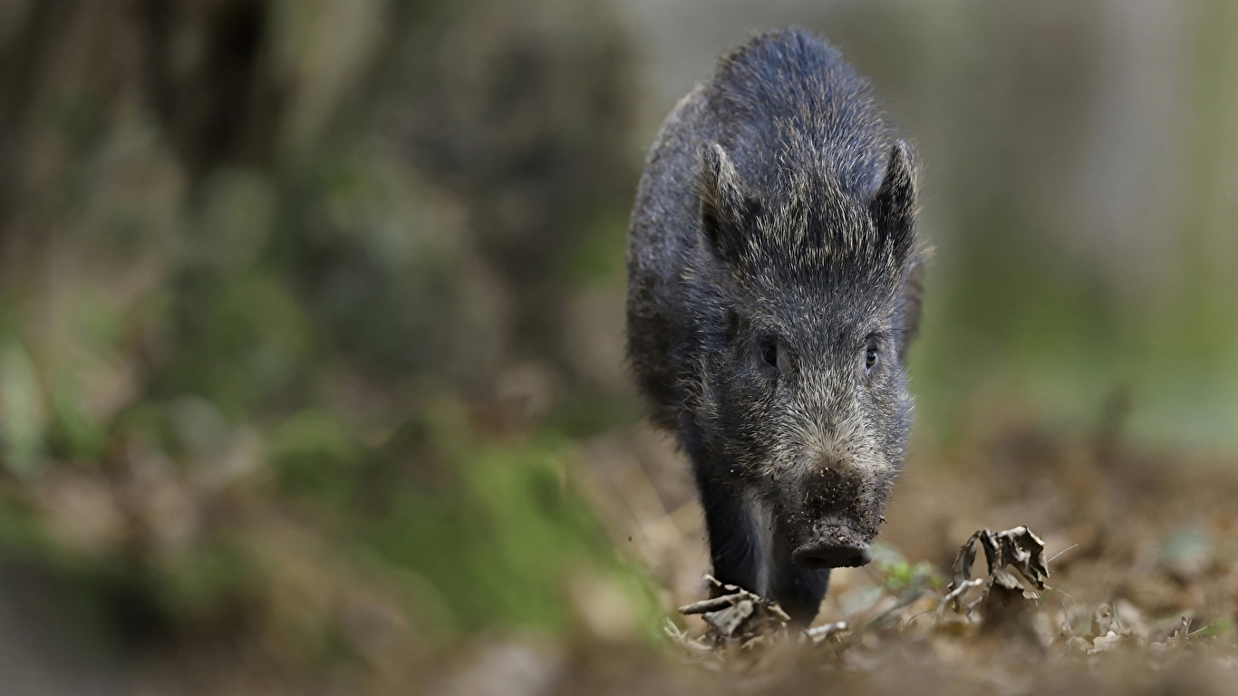 Pictures Wild boar blurred background animal 1366x768 wild pig wild swine Bokeh Animals