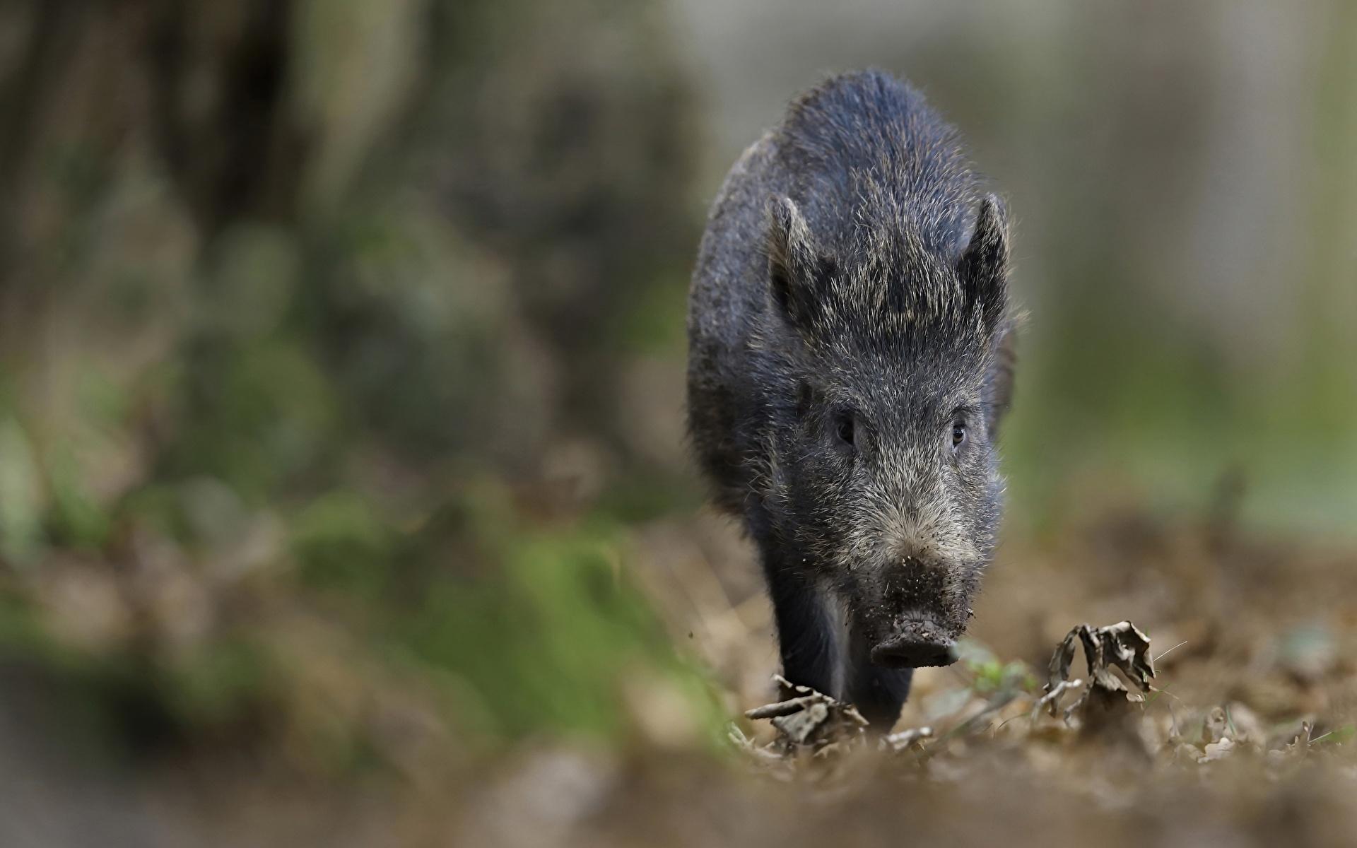 Pictures Wild boar blurred background animal 1920x1200 wild pig wild swine Bokeh Animals