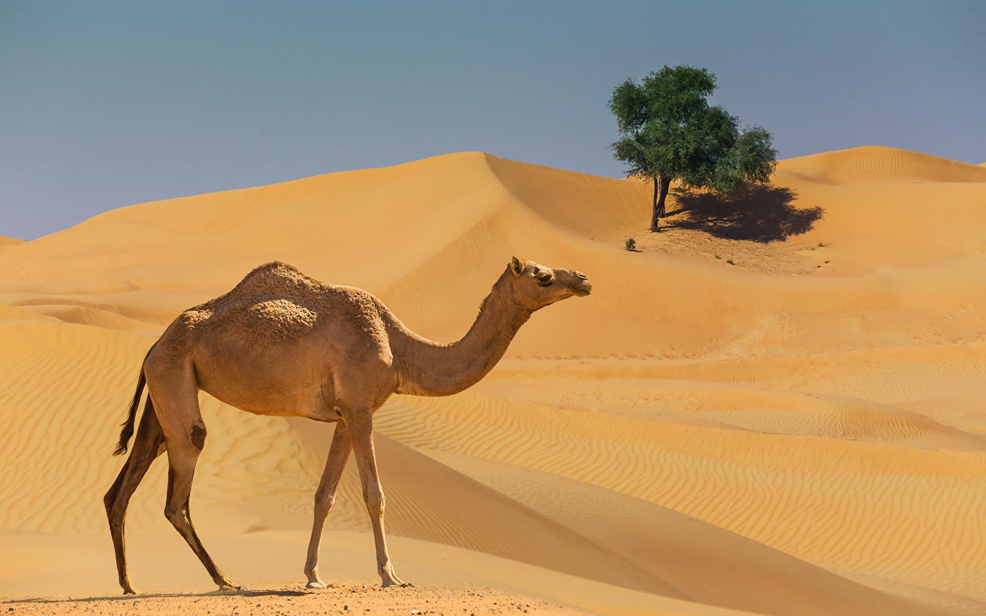 Desktop Hintergrundbilder Kamele Wüste Seitlich Tiere 1920x1200 ein Tier