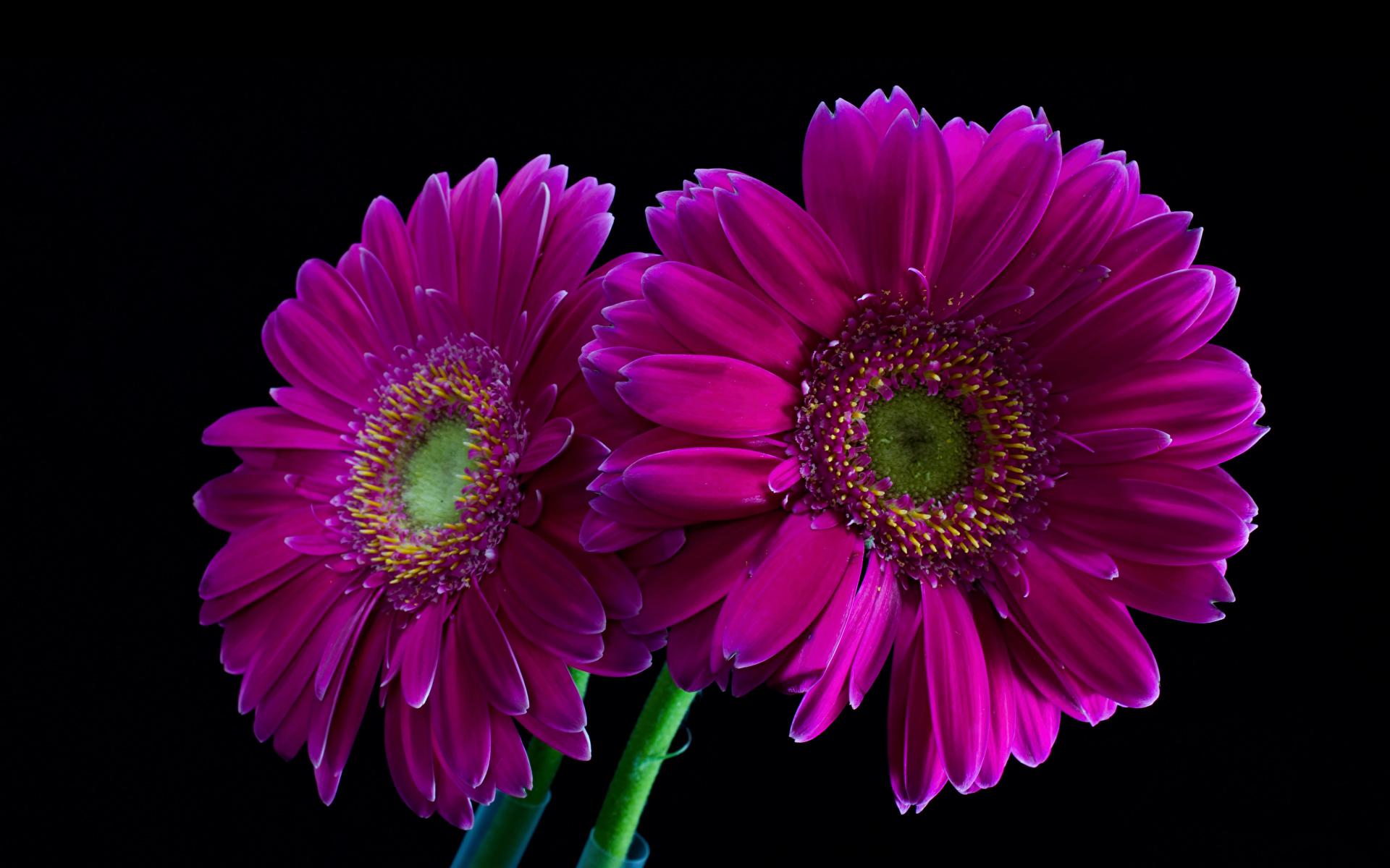Photo Two Violet Gerberas Flowers Closeup Black background 1920x1200