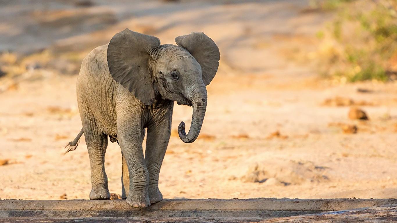Fonds D Ecran 1366x768 Elephant Petits Animaux Telecharger Photo