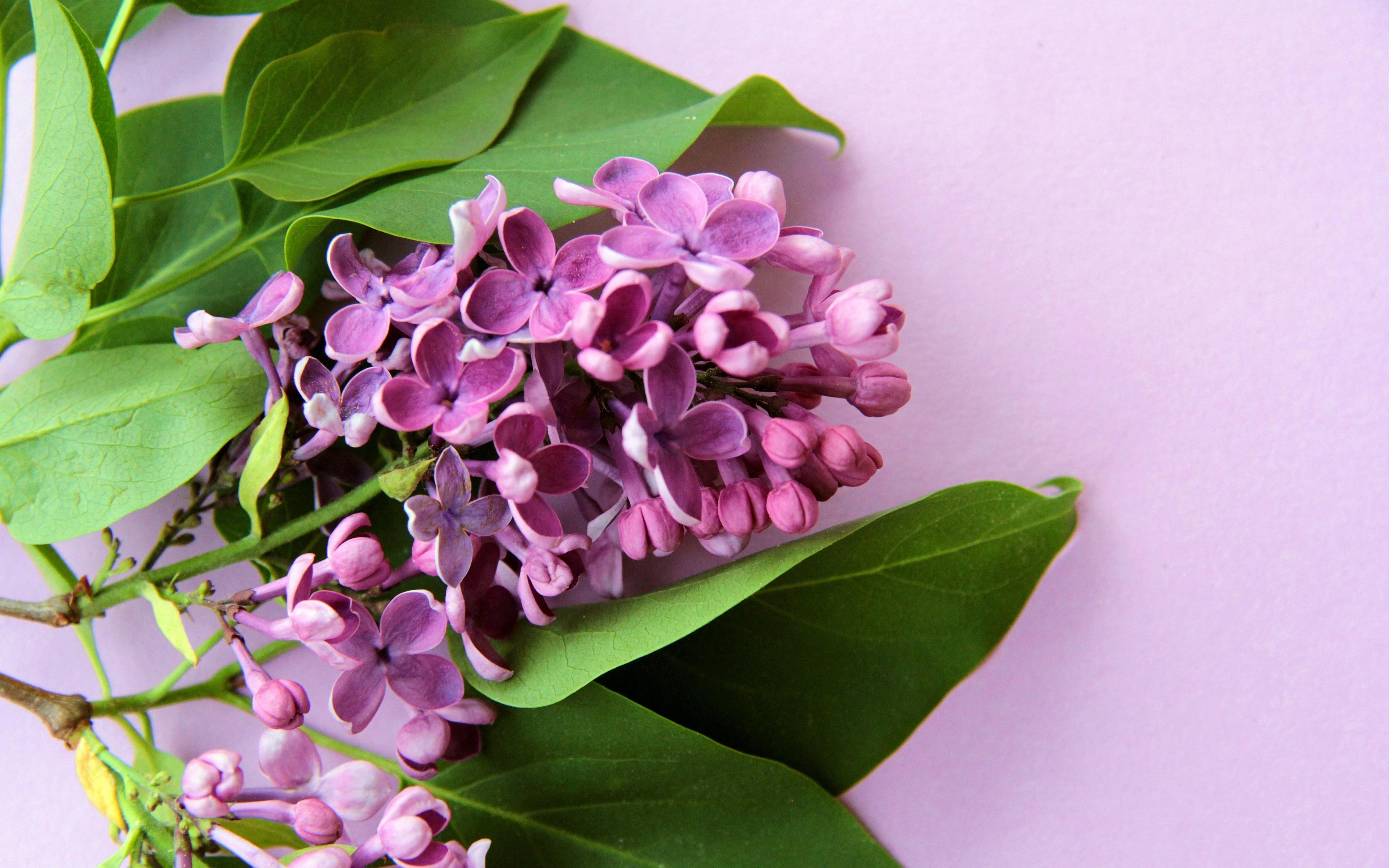 Bakgrundsbilder lila färg syringa Blommor Färgad bakgrund 3840x2400 Violett blomma bondsyren Syrensläktet